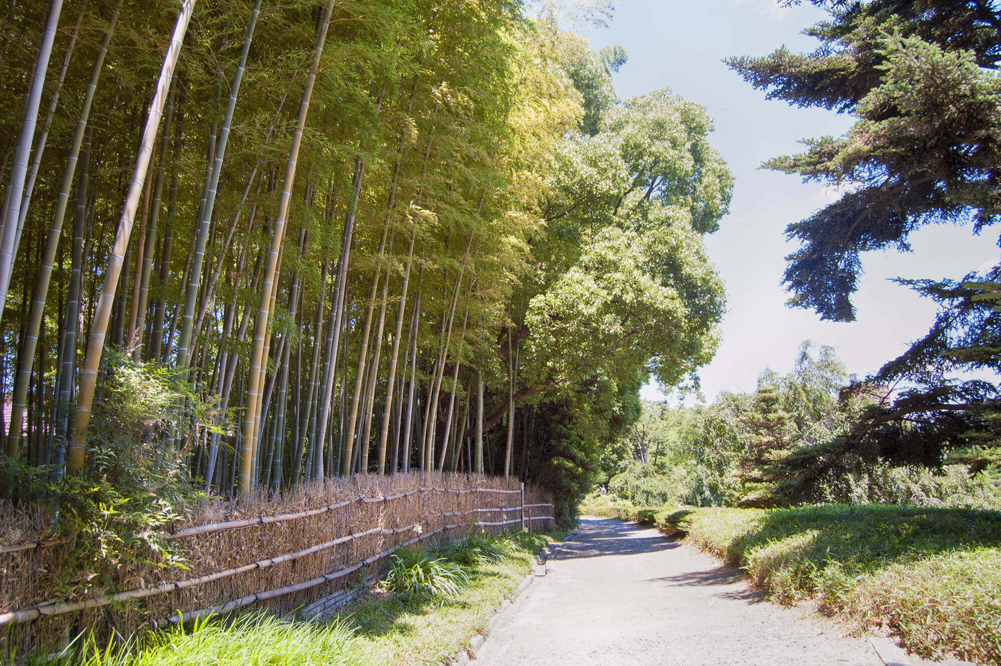 Bambu forest in Shirotori Garden
