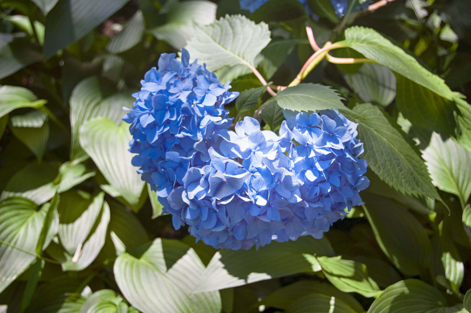Hydrangeas in Shirotori Garden