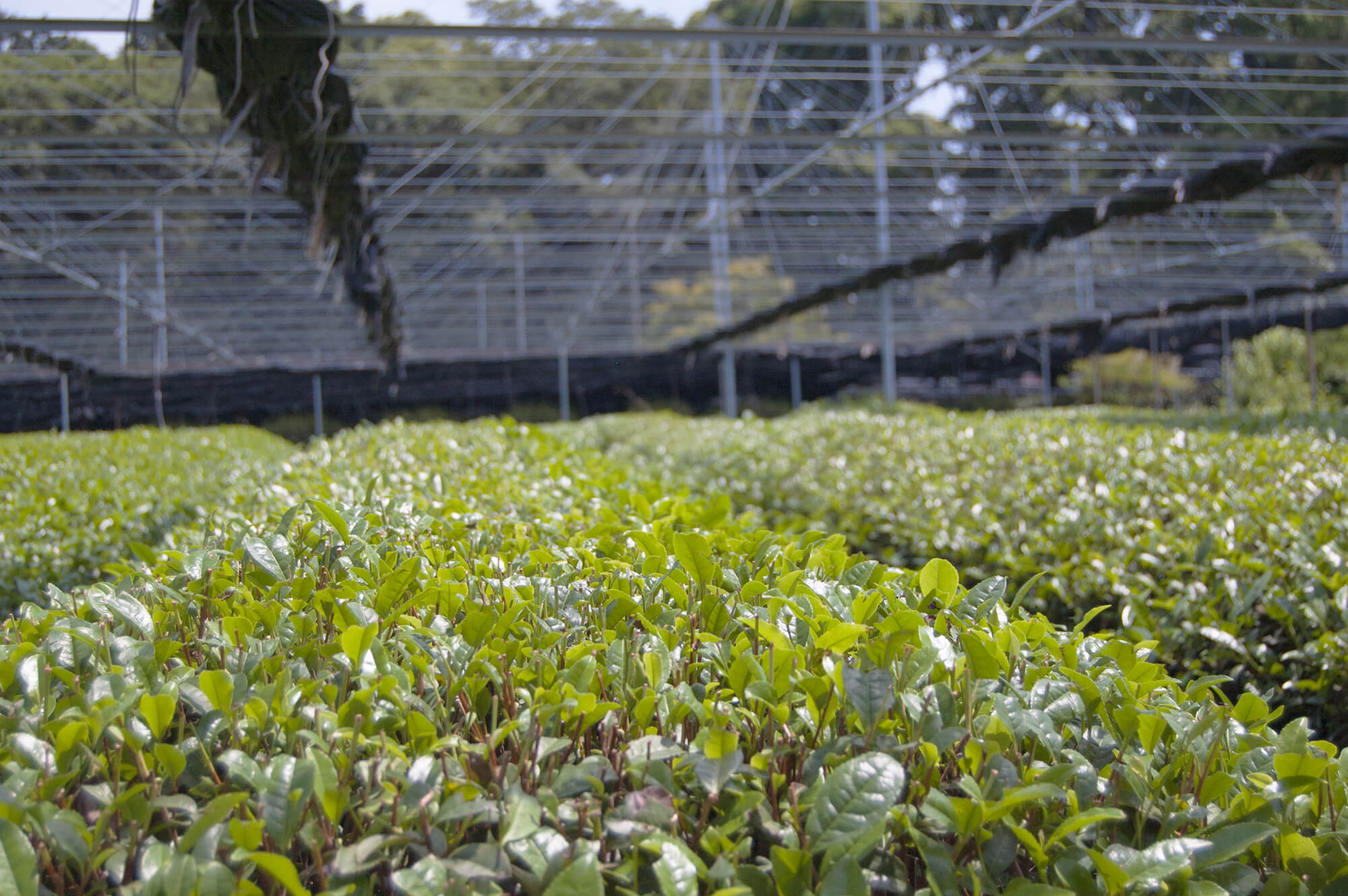Nishio Tea Picking Experience