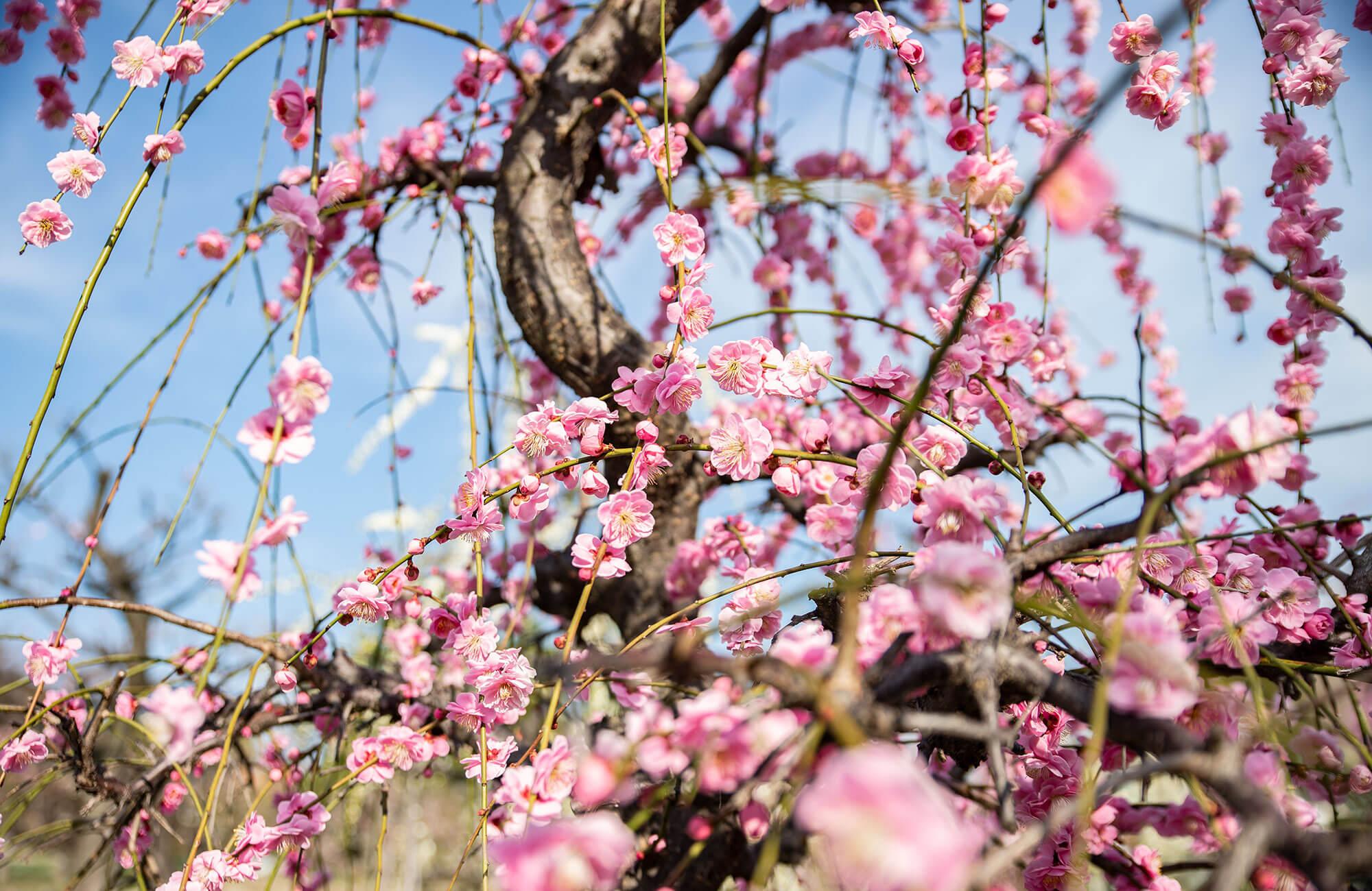 Arako Park Plum Blossoms