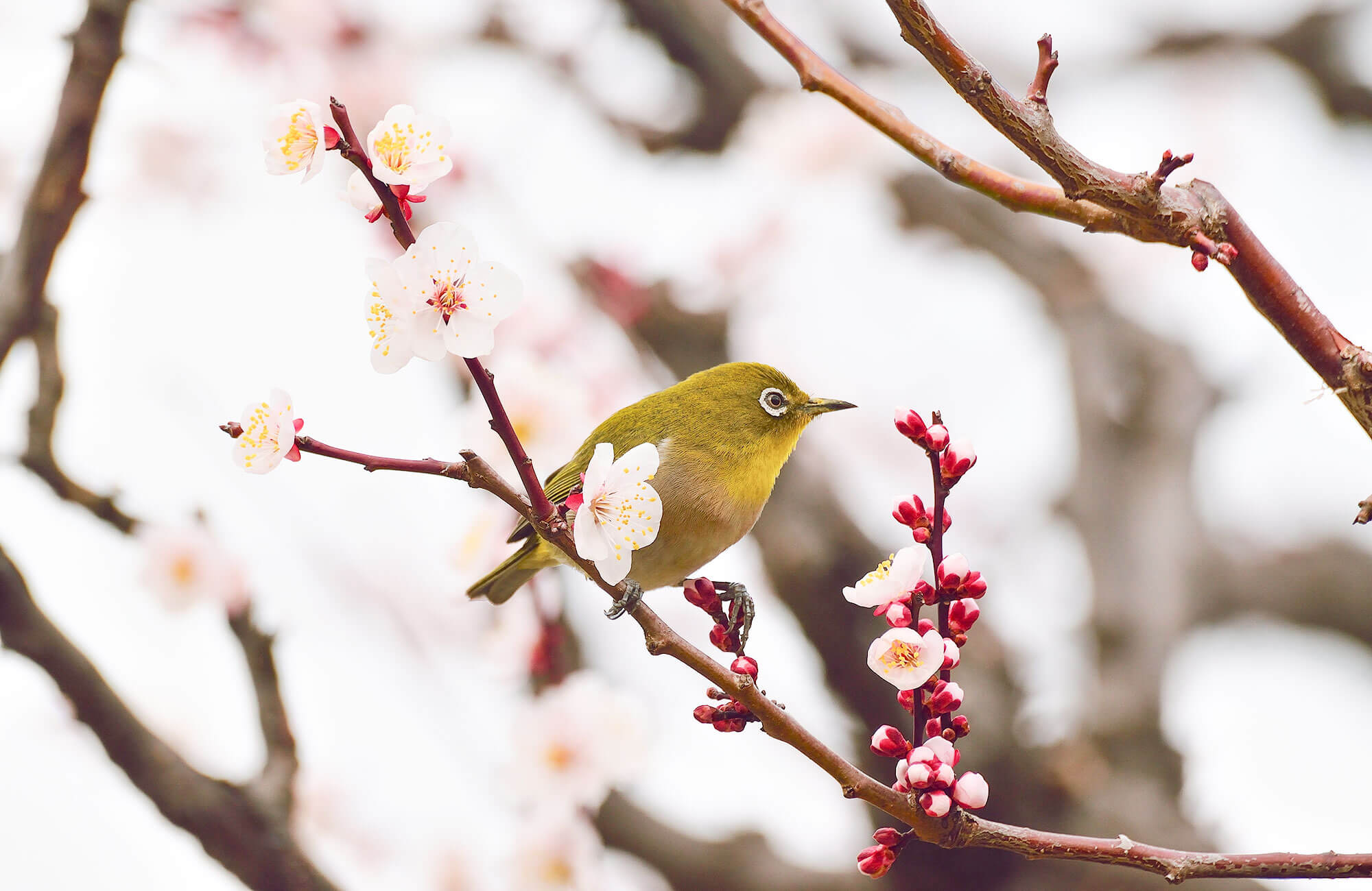 Japanese white-eye in a plum tree
